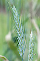 Triticosecale 'Sandro', early July. A form of Triticale, a man-made crop developed by crossing wheat (Triticum turgidum or Triticum aestivum) with rye (Secale cereale)