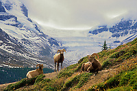 Bighorn rams chewing their cud in an alpine meadow across from the Athabasca Glacier in the Columbia Icefields. Rocky Mountains..Jasper National Park, Alberta. Canada. Autumn. (Ovis canadensis).