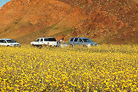 Visitors view the fields of hairy desert sunflower, in Death Valley often called desert gold (Geraea canescens), near Ashford Mill, Death Valley National Park, California
