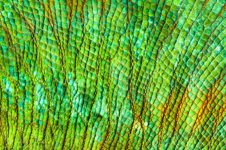 Parson's Chameleon {Calumma Parsonii} close-up of skin. Tropical rainforest, Masoala Peninsula National Park, north east Madagascar.
