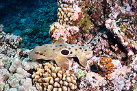 epaulette shark, Hemiscyllium ocellatum, Far Northern Reefs, Great Barrier Reef, Queensland, Australia, Coral Sea, South Pacific Ocean
