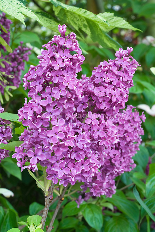Syringa vulgaris Andenken an Ludwig Spath Lilac shrub in spring May flowering