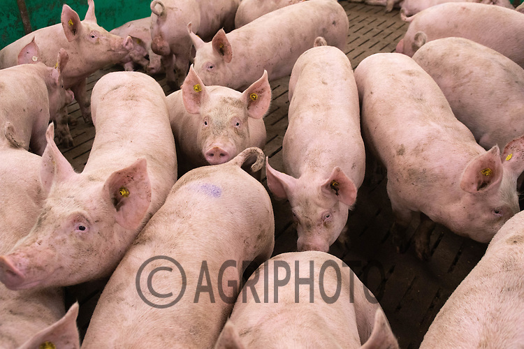 17.7.2020 Pigs on a breeding unit  <br />  ©Tim Scrivener Photographer 07850 303986<br />      ....Covering Agriculture In The UK.