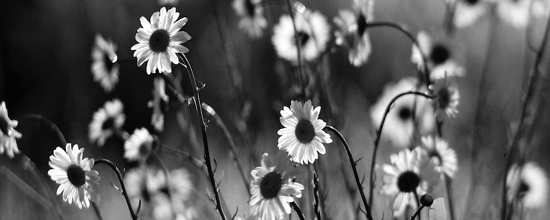 Wild daisies. Near Monroe, Oregon.