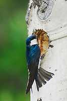 Tree Swallow,Tachycineta bicolor,adult male at nesting cavity in aspen tree, Rocky Mountain National Park, Colorado, USA