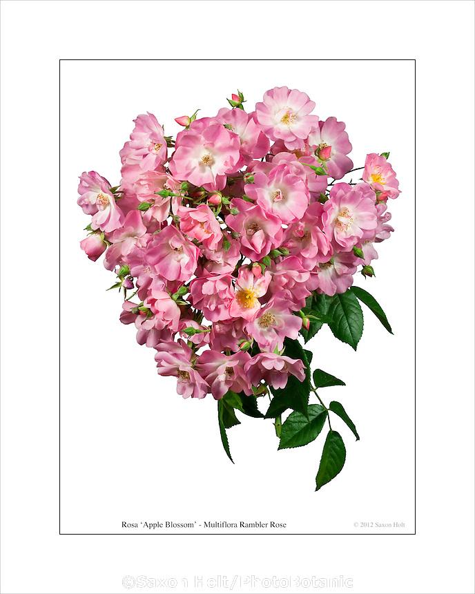 """Rambling rose Rosa 'Apple Blossom"""" flower truss photobotanic silhouette"""
