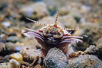 Bobbit worm, Eunice aphroditois, feeds in sandy bay, Anilou, Balayan Bay, Philippines, South China Sea, Pacific Ocean