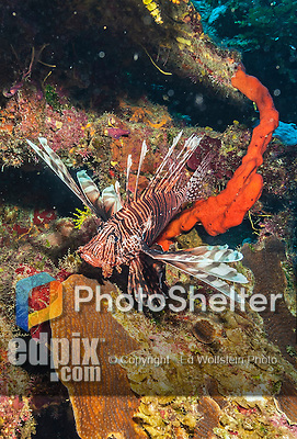 9 July 2013: A Lionfish (Pterois volitans) is seen on Lexau's Legacy Reef off the North Shore of Grand Cayman Island. Native to the Indo-Pacific, Lionfish have become an invasive species in the Atlantic and Caribbean. They are responsible for a growing threat to the reefs as they have no natural predators in these waters. Located in the British West Indies in the  Caribbean, the Cayman Islands are renowned for excellent scuba diving, snorkeling, beaches and banking.  Mandatory Credit: Ed Wolfstein Photo