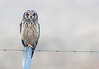 Short-Eared Owls are widespread throughout the world.  This was my first time seeing one in Latin America.