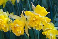 Narcissus 'Telamonius Plenus' aka Narcissus 'Van Sion' (Division 4) double flowered spring flowering bulb daffodils