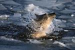 Polar bear shaking off water, Canada