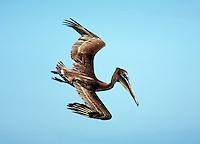 Brown Pelican, immature, diving. Birds feeding. Sanibel Island Florida.