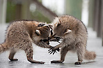 Ding Darling National Wildlife Refuge, Sanibel Island, Florida; two juvenile Raccoons (Procyon lotor) play on the deck of the ramp up to the observation tower © Matthew Meier Photography, matthewmeierphoto.com All Rights Reserved