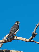 A Peregrine Falcon, Falco peregrinus, perches in a tree in Sacramento National Wildlife Refuge, California