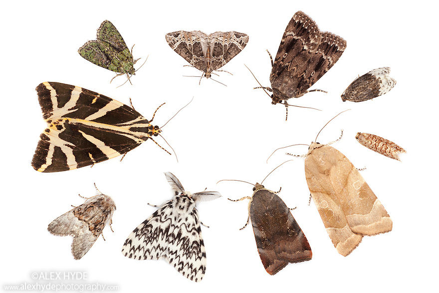 A selection of moths attracted to a Robinson moth trap, using a mercury vapour bulb. Clockwise from top left: Tree-lichen Beauty {Cryphia algae}, Small Phoenix {Ecliptopera silaceata}, Copper Underwing {Amphipyra pyramidea},  Birch Marble {Apotomis betuletana}, Lozotaeniodes formosanus, Broad-bordered Yellow Underwing {Noctua fimbriata},  Lesser Broad-bordered Yellow Underwing {Noctua janthe}, Black Arches {Lymantria monacha}, Nut-tree Tussock {Colocasia coryli} and Jersey Tiger Moth {Euplagia quadripunctaria}. All species photographed in mobile field studio on a white background. Surrey, UK. August. Digital composite.