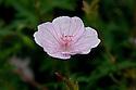 Geranium sanguineum var. striatum, mid June.