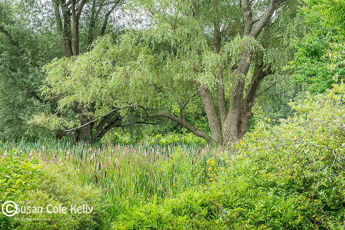 Willow tree in The Meadow at the Arnold Arboretum in the Jamaica Plain neighborhood, Boston, Massachusetts, USA