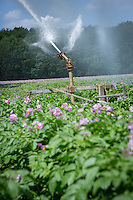 Irrigating Maris Peer potatoes