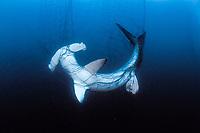 Hammerhead shark, Sphyrna lewini, in drift gill net, Sea of Cortez, Mexico, Pacific Ocean