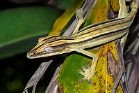 Lined flat-tail gecko (Uroplatus lineatus), female, rain forest of Marojejy National Park, Madagascar, Africa
