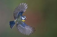 Blaumeise, Flug, Flugbild, fliegend, Blau-Meise, Meise, Meisen, Cyanistes caeruleus, Parus caeruleus, blue tit, flight, flying, La Mésange bleue