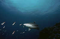 Silvertip Shark (Carcharhinus albimarginatus) swimming with reef fish at cleaning station, Cocos Island, Costa Rica - Pacific Ocean