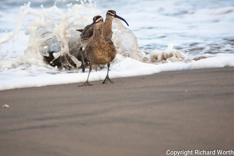 Two whimbrels retreating from the incoming tide that just hit a rock, splaying water after them.