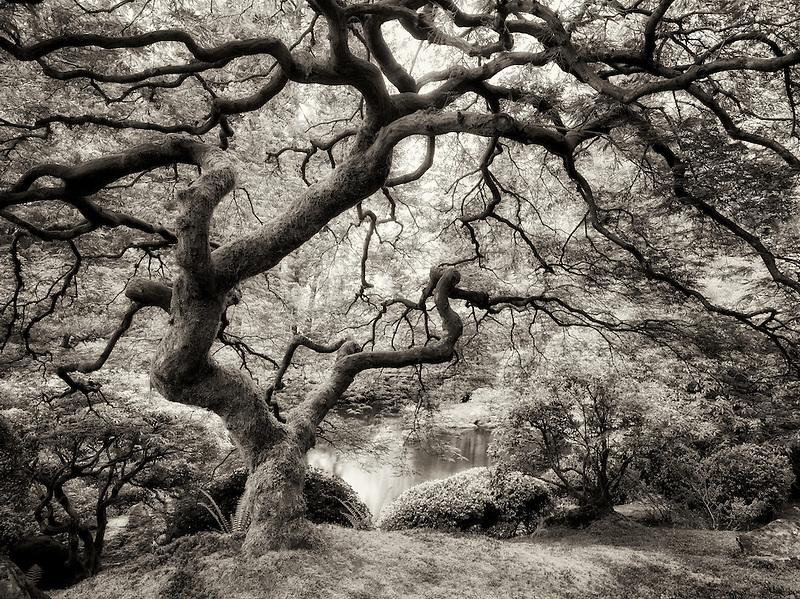 Japanese Maple tree with new growth. Portland Japanese Garden, Oregon