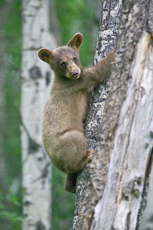 Cinnamon Black Bear cub watching from a tree it's clinging to