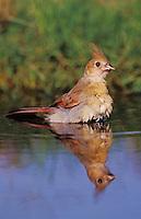 Northern Cardinal, Cardinalis cardinalis, young bathing, Lake Corpus Christi, Texas, USA