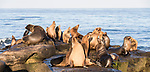 La Jolla, California; a bull male and several female and juvenile California sea lions resting on the rocky shoreline along the Pacific Ocean, in early morning sunlight