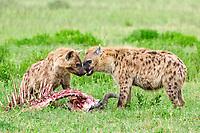 Spotted hyenas (Crocuta crocuta) with prey, Serengeti National Park, Tanzania, Africa