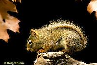 MA07-046b  Red Squirrel - sitting by tree cavity  - Tamiasciurus hudsonicus