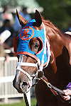 2011 04 30: Caixa Electronica in the paddock for the  Grade 3 Westchester Stakes for 3 year olds & up, at 1 mile, Belmont Park. Trainer Todd Pletcher. Owner Repole Stables