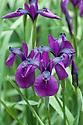 Japanese iris (Iris ensata), late May.