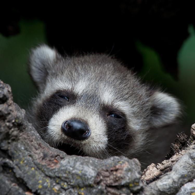 Raccoon Kit (procyon lotor) sleepily watching from a hollow log near Kalispell, Montana, USA - Captive Animal