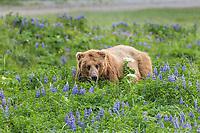 Coastal brown bear in a field of lupine wildflowers, Katmai National Park, Alaska Peninsula, southwest Alaska.