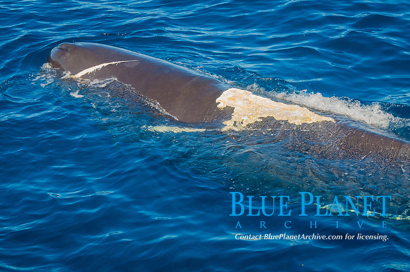 sperm whale, Physeter macrocephalus, with large propellar scars, Dominica, Caribbean Sea, Atlantic Ocean