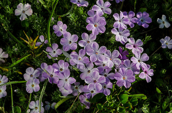 Phlox or spreading phlox (phlox diffusa) covered in dew.  Pacific Northwest.  Common alpine/subalpine wildflower found from British Columbia south to Northern California.