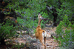 YOUNG BABY DEER FEEDING in FOREST