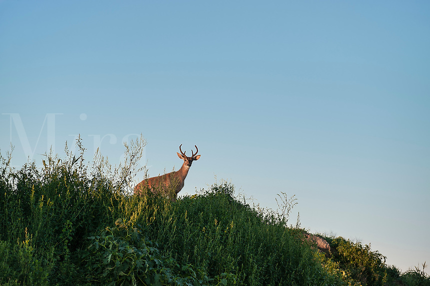 Deer buck on ridge, Rhode Island, USA