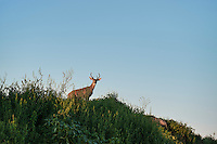 Deer buck on ridge, Rhode Island, USA
