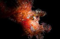 Weedy scorpionfish (Rhinopias frondosa) backlit