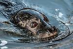 harbor seal, close-up of face and whiskers facing right while swimming