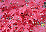 Brilliant red autumn leaves Fairfax Virginia, Fine Art Photography by Ron Bennett, Fine Art, Fine Art photography, Art Photography, Copyright RonBennettPhotography.com ©