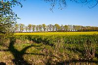 Blühendes Rapsfeld, Dorf Ihlow, Märkische Feldsteinroute, Oder-Spree, Brandenburg
