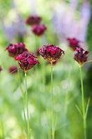 Phoenix Perennials - May & June