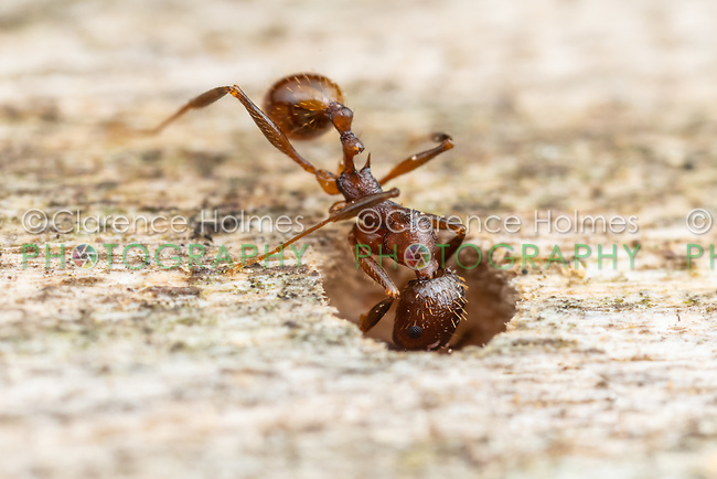 A Spine-waisted Ant (Aphaenogaster fulva) worker examines a cavity in a log.