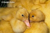 DG10-042x  Pekin Duck - four day old ducklings resting