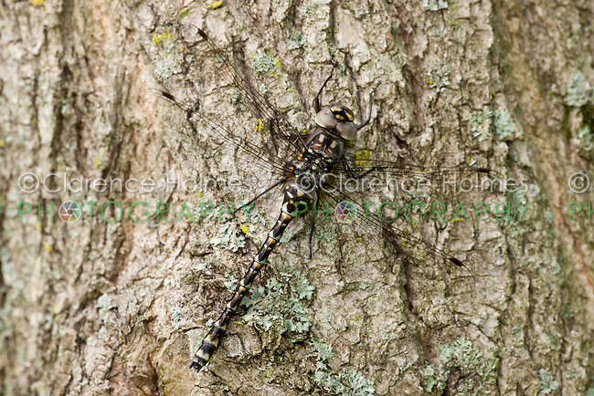 A female Harlequin Darner (Gomphaeschna furcillata) dragonfly perches on a tree trunk in spring.